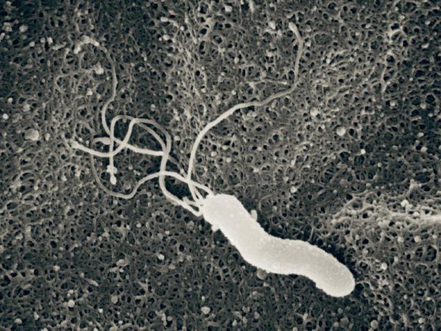 ピロリ菌s